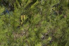 杉木在钦琼特佩克火山de Liria,巴伦西亚公园  库存图片