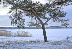 杉木在维斯瓦河盐水湖银行增长  33c 1月横向俄国温度ural冬天 免版税图库摄影