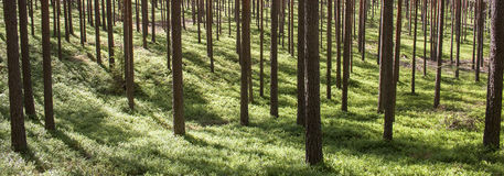 杉木在晴朗的背景的森林树干 库存照片