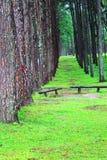 杉木在Chiangmai 库存照片