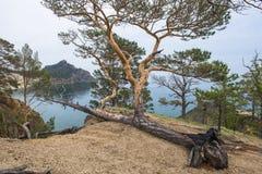 杉木增长甚而说谎在地面上 库存照片