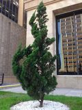 杉木小的结构树 免版税图库摄影
