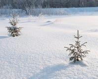 杉木小的结构树 免版税库存图片