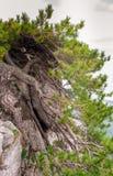 杉木岩石结构树 免版税图库摄影