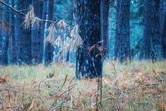 杉木幻想明亮的分支世界在一个不可思议的森林的背景的 图库摄影