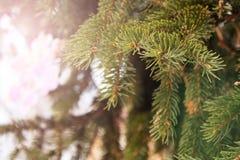 杉木或云杉绿色分支  免版税库存图片