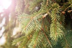 杉木或云杉绿色分支  库存图片