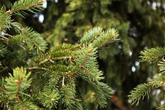 杉木或云杉绿色分支  库存照片