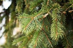 杉木或云杉绿色分支  免版税库存照片
