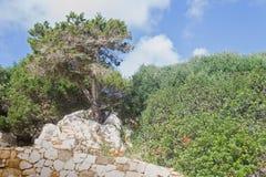 杉木晃动结构树 库存图片