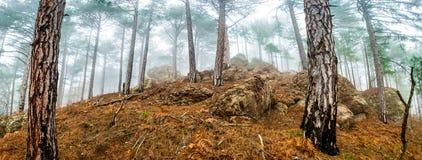 杉木有薄雾的森林全景  免版税库存照片