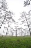 杉木有薄雾的森林盖子 免版税库存照片