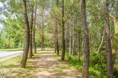 杉木木麻黄属的各种常绿乔木 免版税库存照片