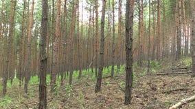 杉木松属全国自然保护的Vate sylvestris森林森林单作pisky,膨胀和部分地 股票视频
