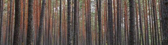 杉木林木树干 免版税库存照片