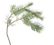 杉木枝杈,在白色隔绝的针 免版税图库摄影