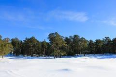 杉木树森林在冬天 免版税图库摄影