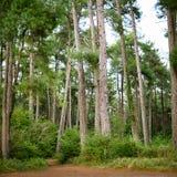 杉木树丛 图库摄影