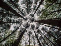 杉木树丛 库存图片