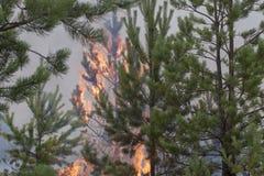 杉木树冠火  免版税图库摄影