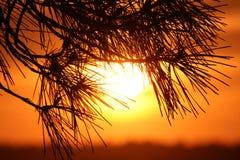 在日落背景的杉木树 库存照片