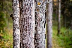 杉木树干在特写镜头森林里 免版税库存照片