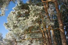 杉木树干 免版税库存照片