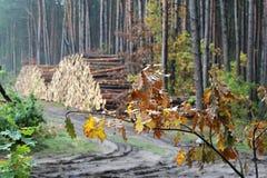 杉木树干 库存照片