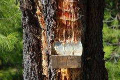 杉木树脂容器,希腊 免版税库存照片
