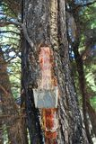杉木树脂汇集, Alonissos 免版税库存照片