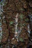 杉木树脂 库存照片
