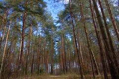 杉木森林。 库存照片