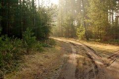 杉木森林。 库存图片