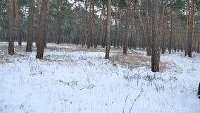 杉木森林冬天圣诞节行动树在冬天自然美好的风景的雪原 股票录像