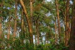 杉木森林原野在富兰德 库存照片