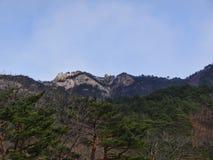杉木森林和一个大岩石在背景 免版税库存图片