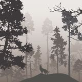 杉木森林和狼 图库摄影