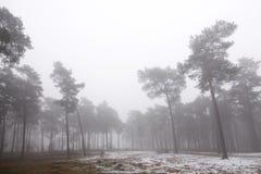 杉木森林和雪在zeist附近的冬天在荷兰 库存图片