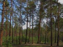 杉木森林在一个夏日 年轻和成人松树 库存图片