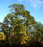 杉木森林在一个晴天 免版税库存图片