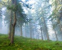 杉木森林在一个有雾的早晨 库存照片