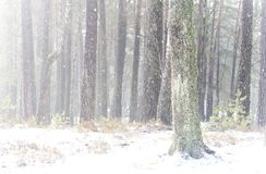 杉木森林在冬天清早 免版税库存图片