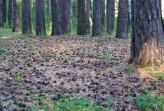 杉木森林在地面上的很多杉木锥体在杉木地毯  免版税库存照片