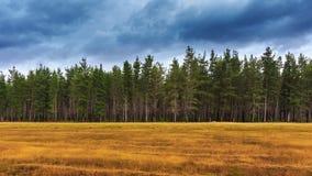 杉木森林在塔斯马尼亚岛。 库存照片