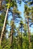 杉木森林在夏天 免版税库存照片