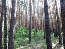 杉木森林在夏天32 库存照片