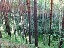 杉木森林在夏天34 免版税图库摄影
