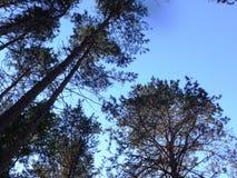 杉木森林在夏天34 图库摄影