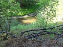 杉木森林在夏天35 免版税图库摄影