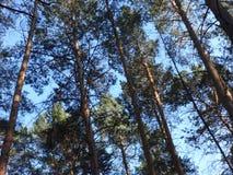杉木森林在夏天36 免版税库存图片